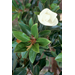 Plant Southern magnolias now