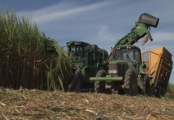 Good harvesting conditions help sugarcane recovery