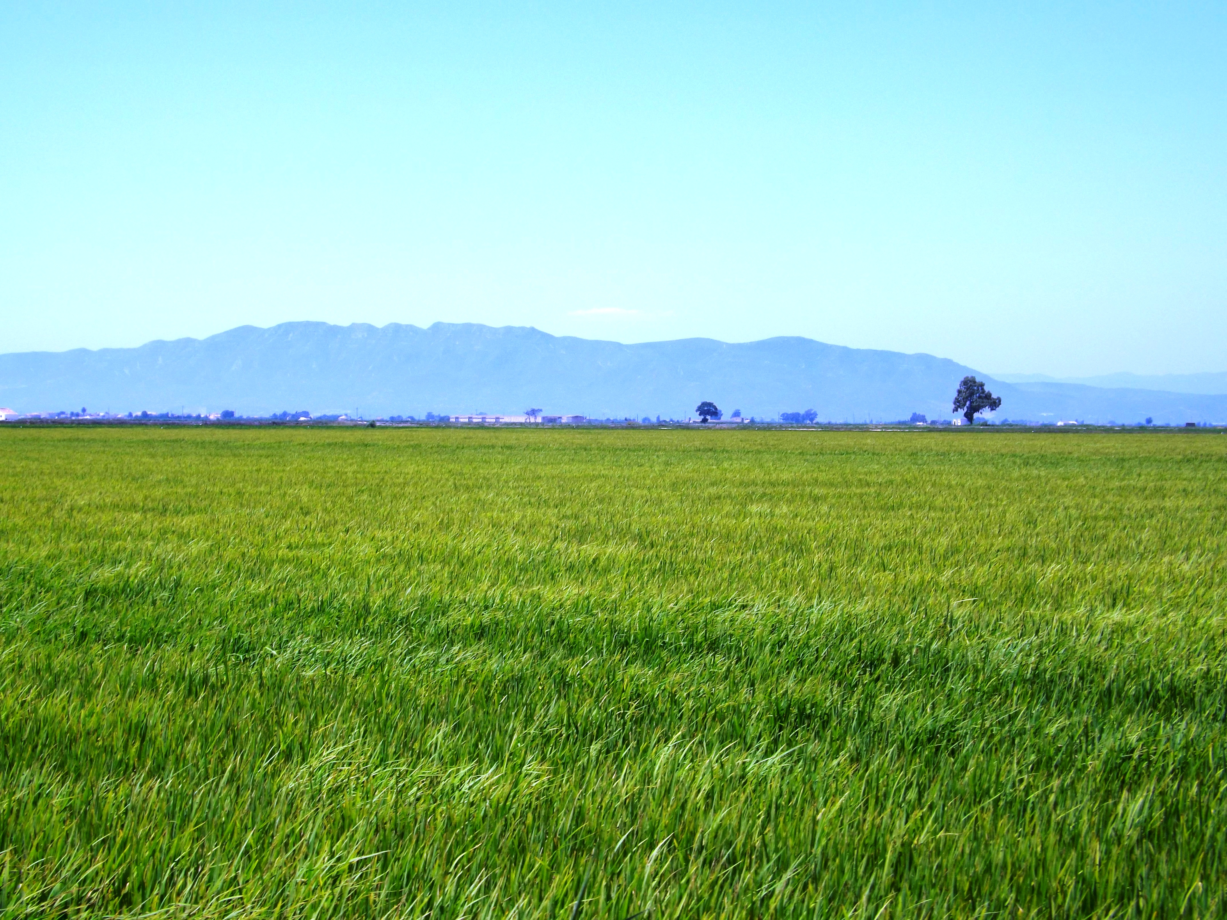 A field of the rice variety Bomba growing in the delta of the Ebro River in Spain