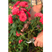 Horticulturist Says Rose Care Needed in Late Summer