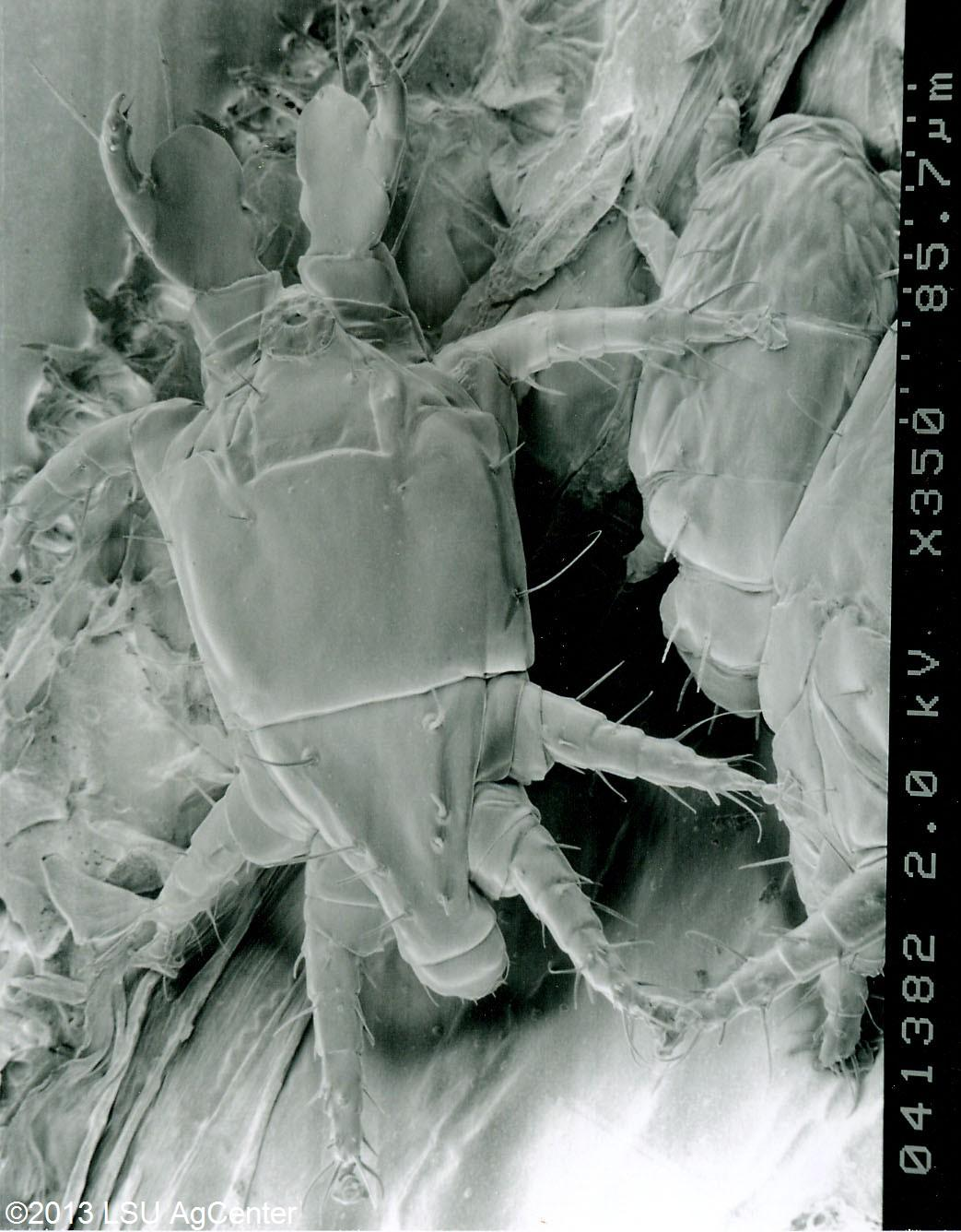 Panicle rice mite – adult by USDA