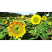 Sunflower – Ornamental Plant of the Week for July 20, 2015