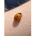 Lady Beetle Adult 2