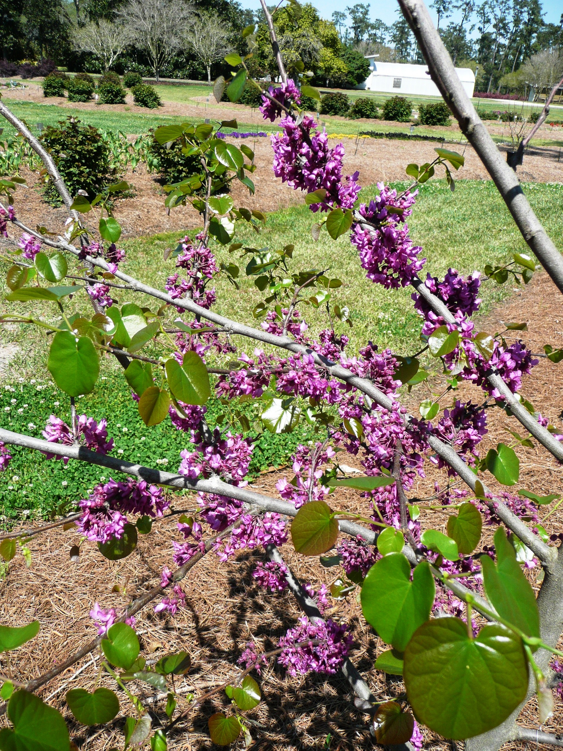 Redbud Tree Ornamental Plant Of The Week For January 19 2015