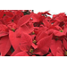Poinsettias add holiday cheer to homes