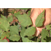 Here's how to identify poison ivy
