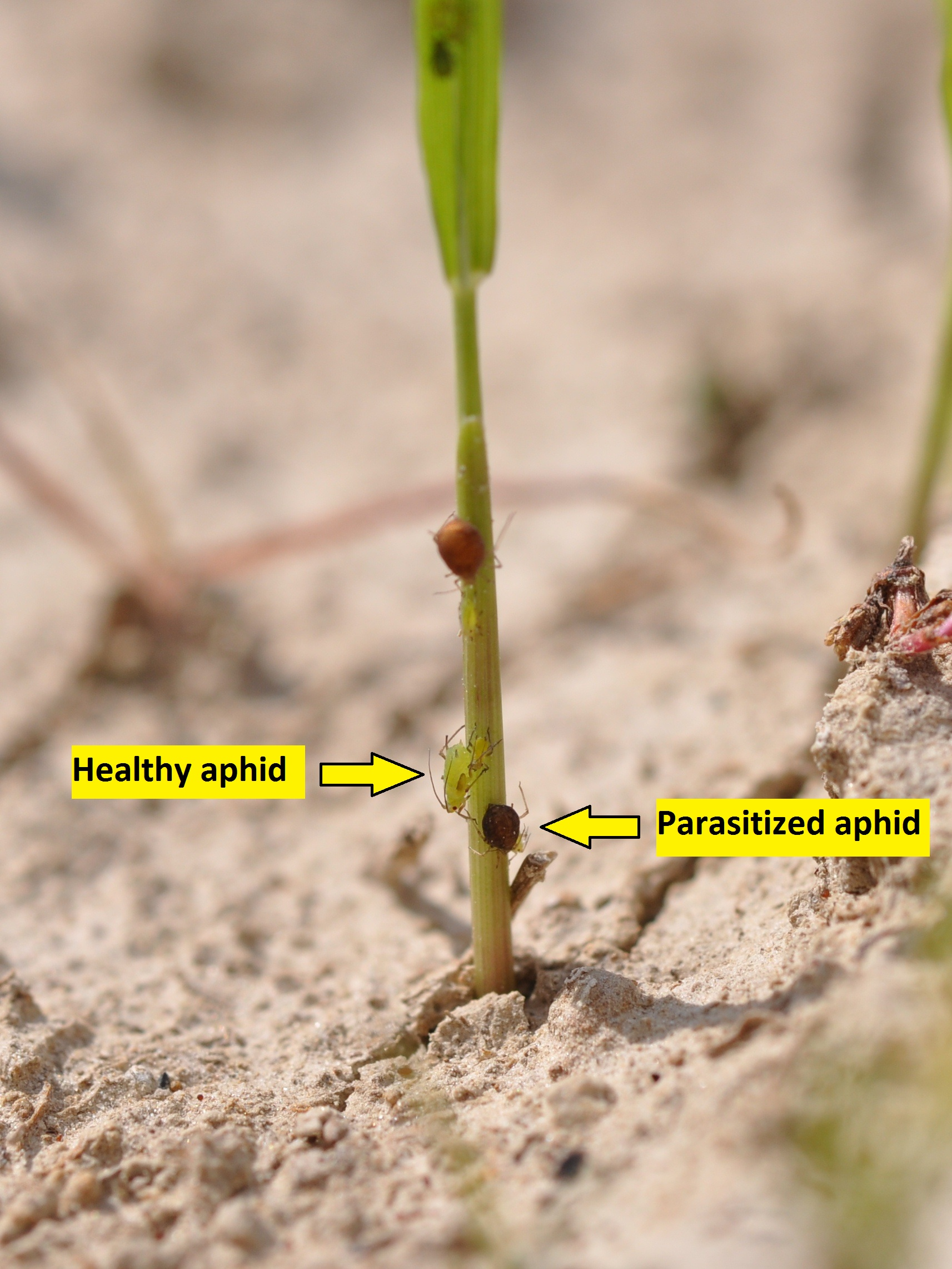 Parasitized and healthy aphids on a rice leaf.