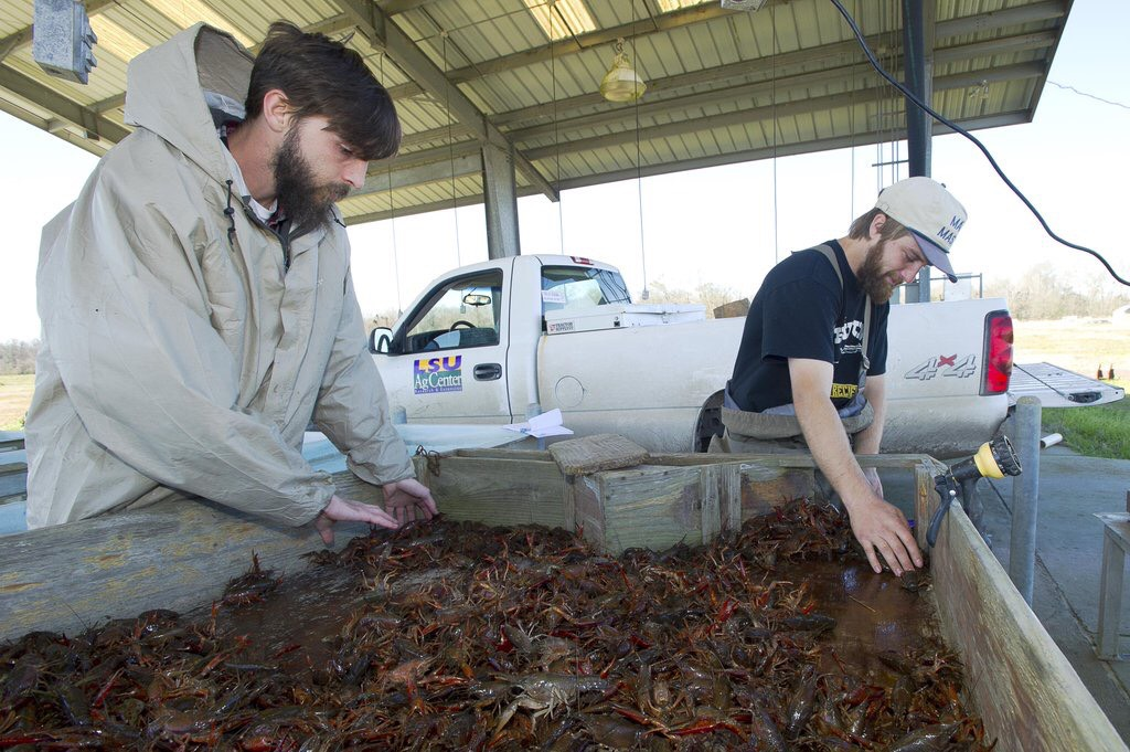 Rainy weather leads to ample crawfish crop