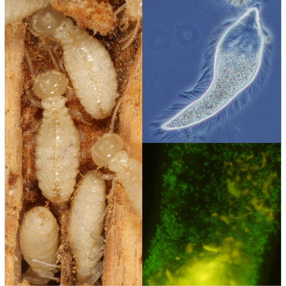 What do termites eat?