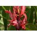 Cannas are easy to grow offer diverse choices