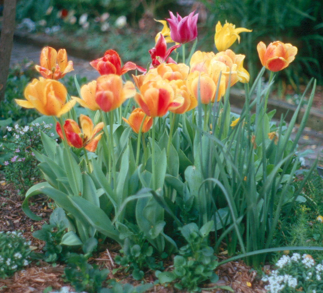 Plant spring flowering bulbs in fall tulipsg thumbnail mightylinksfo