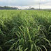 Louisiana Sugarcane Variety Identification Guide 2020: ​L 03-371