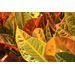 Colorful crotons are a fall tradition