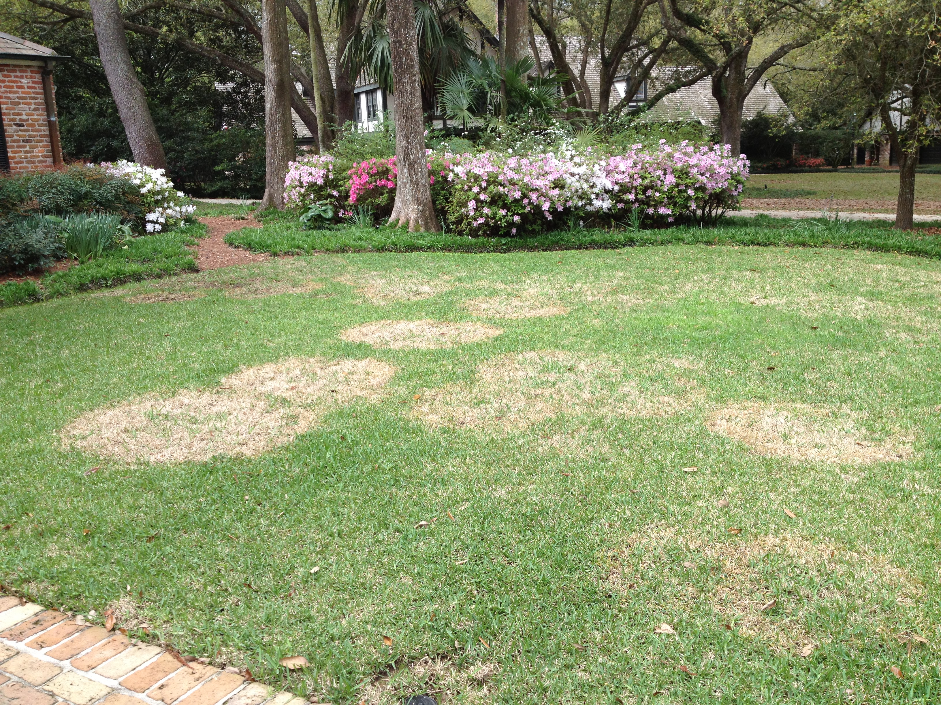 St Augustine lawn severly infected with large patch disease.JPG thumbnail