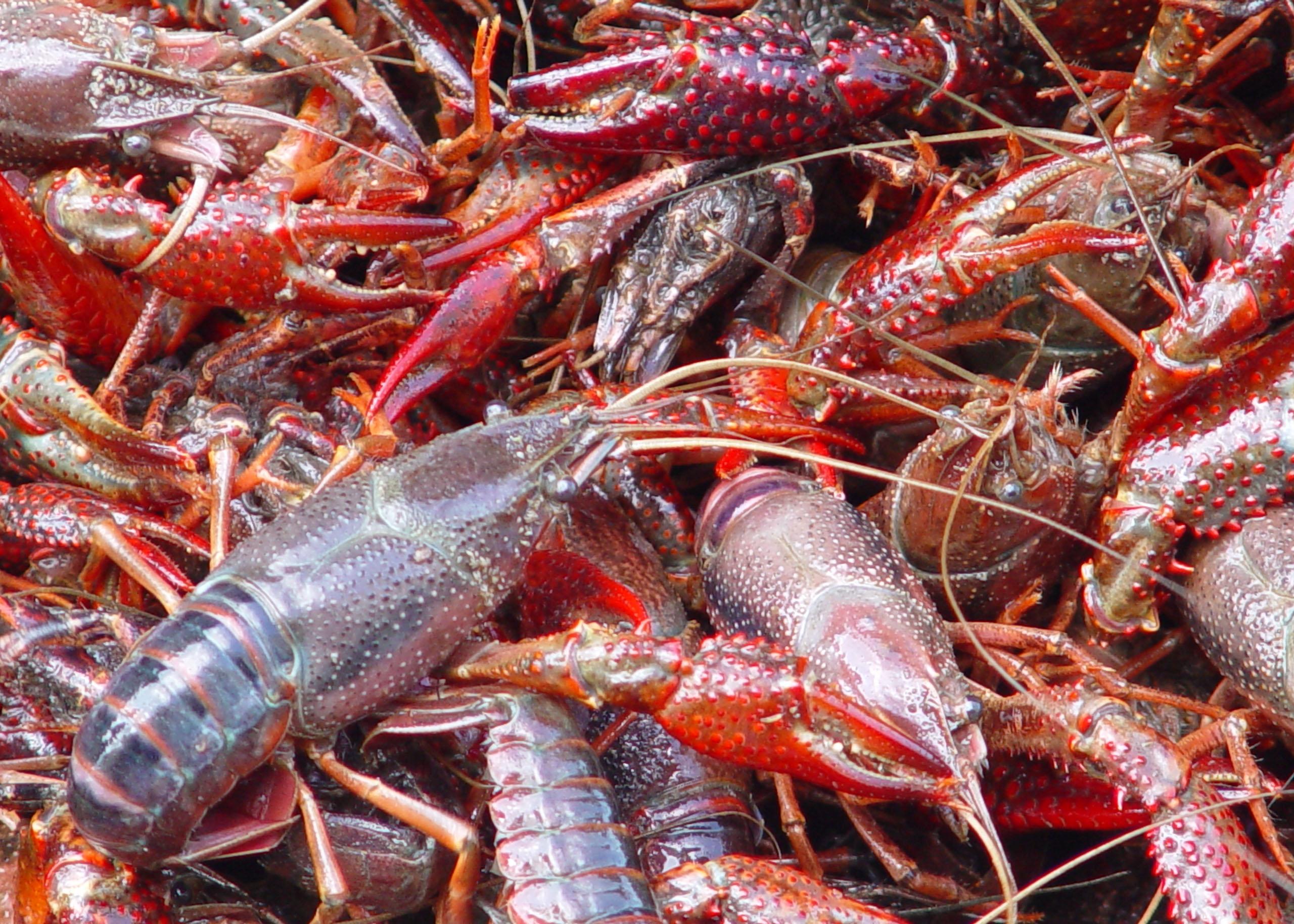 Evolution of the Louisiana Crawfish Industry