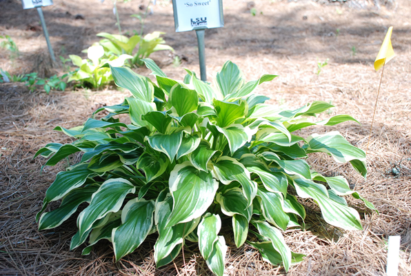 Choose Hostas For Louisiana Gardens