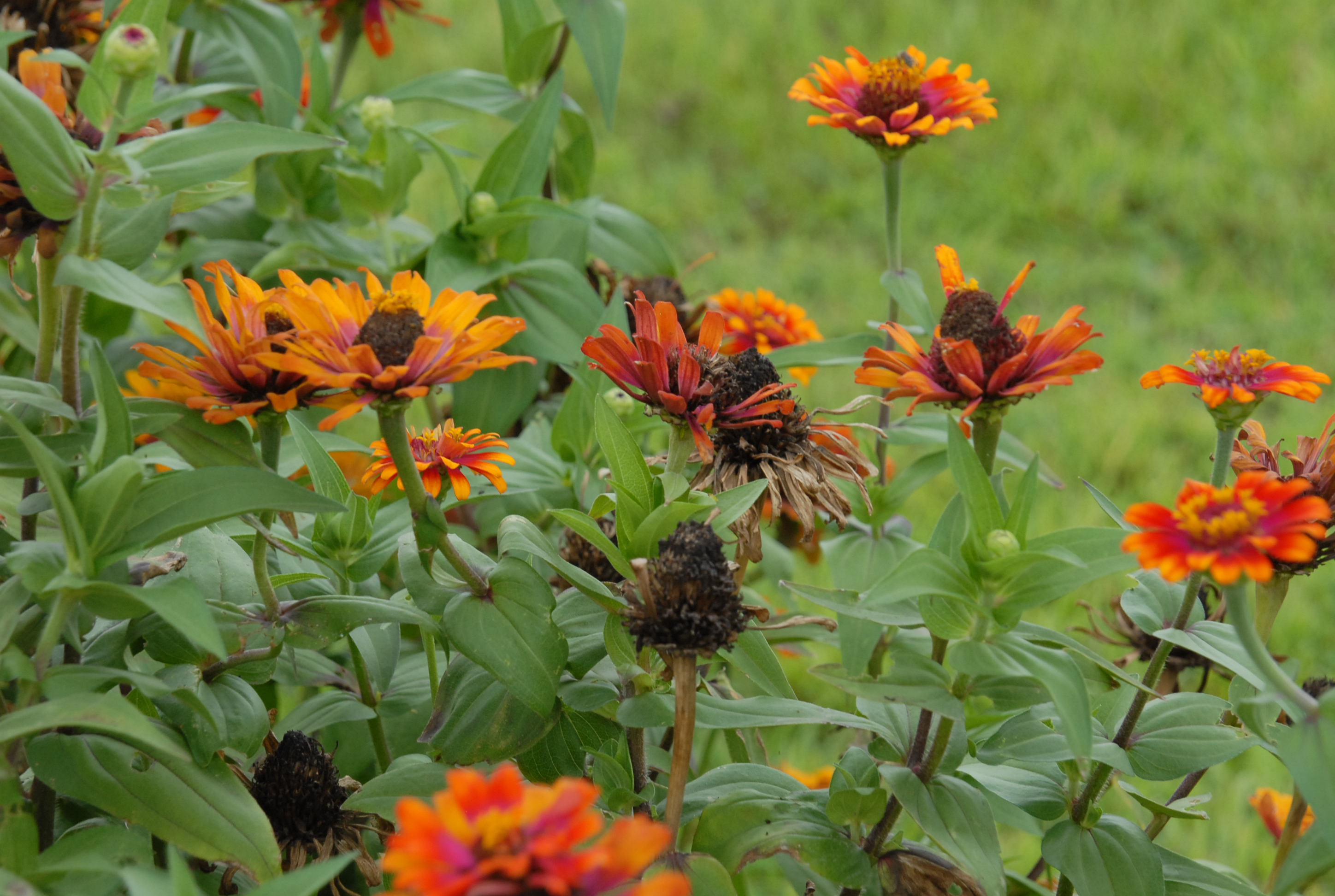 zinnia with spent blossoms.jpg thumbnail