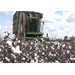 Cotton yields good despite tough growing conditions