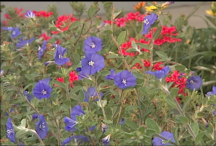 Add true blue flowers to summer landscape