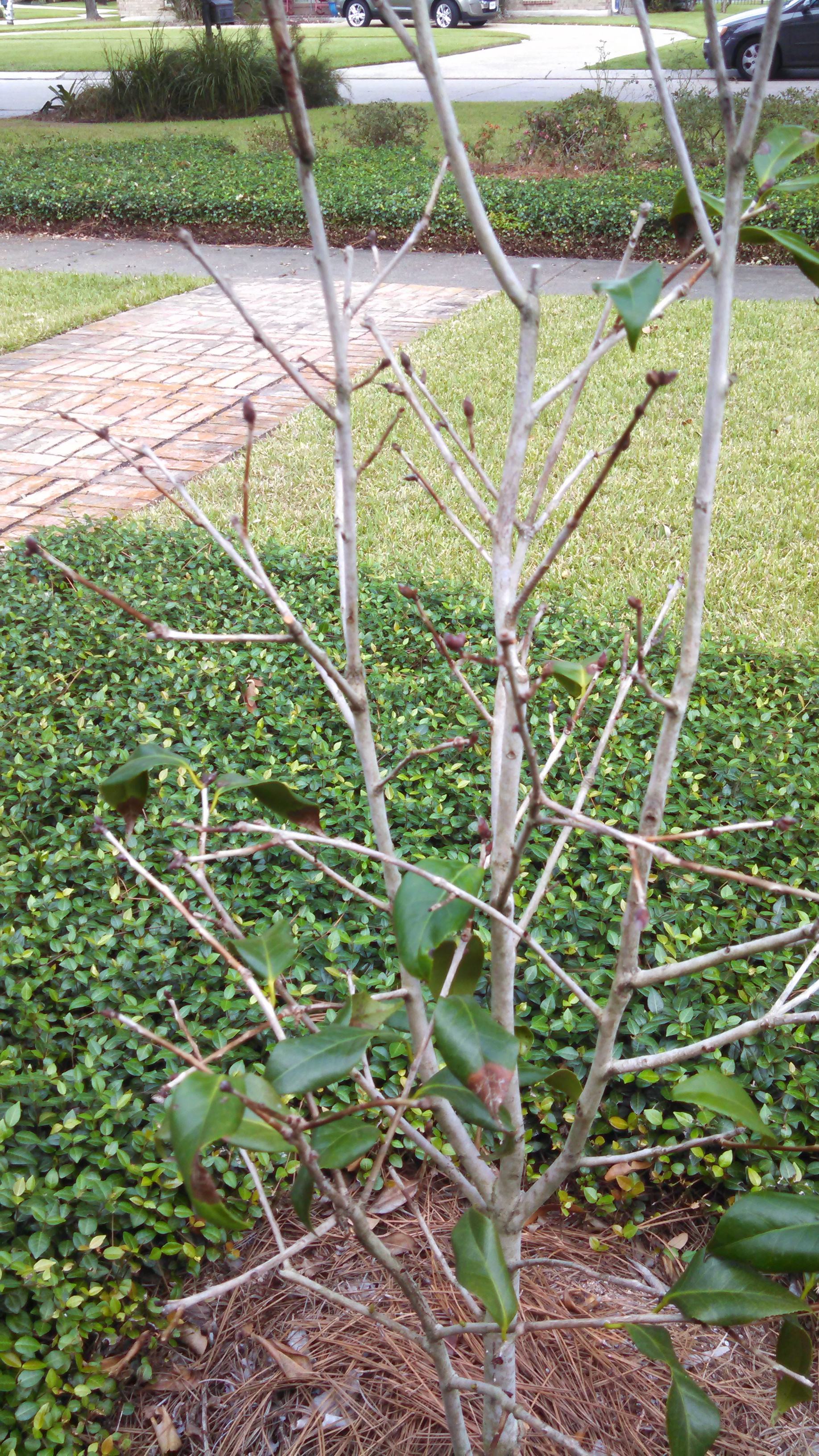 picture of a camellia bush with few leaves