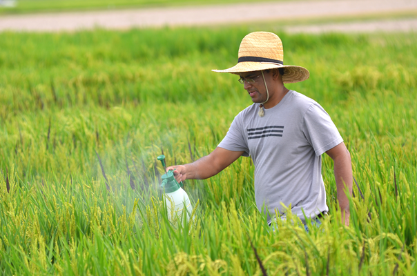 Graduate student Hari Sharan Karki inoculates research plots at the Rice Research Station with bacte