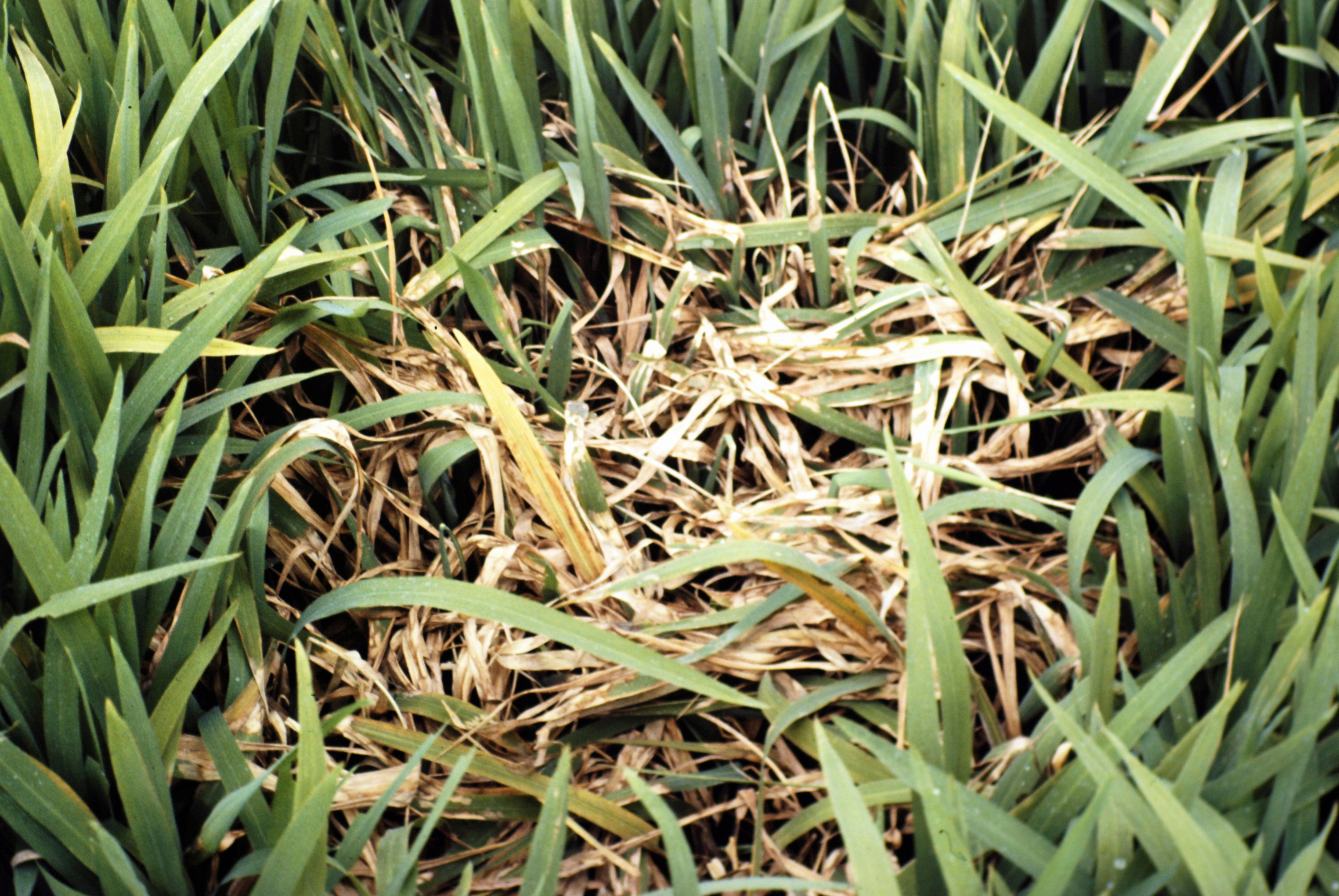 Rice Sheath Blight Control Issues