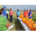 Growers learn ways to profit from pumpkin patches