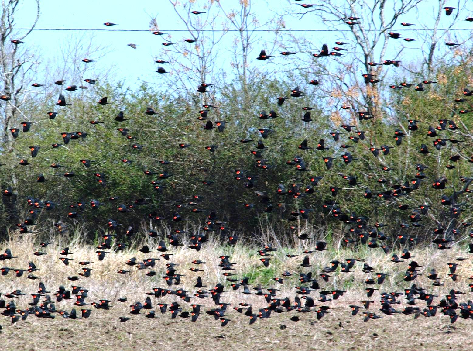 Blackbirds a Significant Problem in Louisiana Rice Production