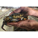 Crab shedders persevere as Louisiana soft-shell crab industry shrinks