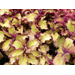 Henna Coleus – Ornamental Plant of the Week for April 6, 2015