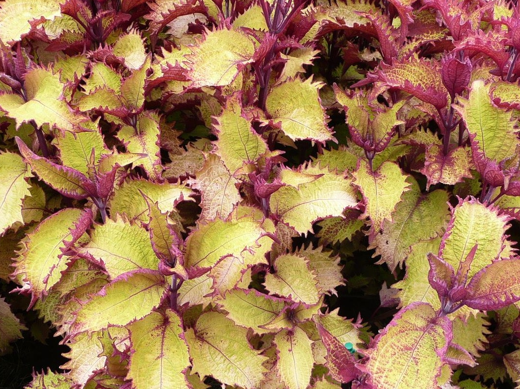 Henna Coleus Ornamental Plant Of The Week For April 6 2015