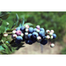 Rabbiteye Blueberry – Plant of the Week for Nov. 9 2015
