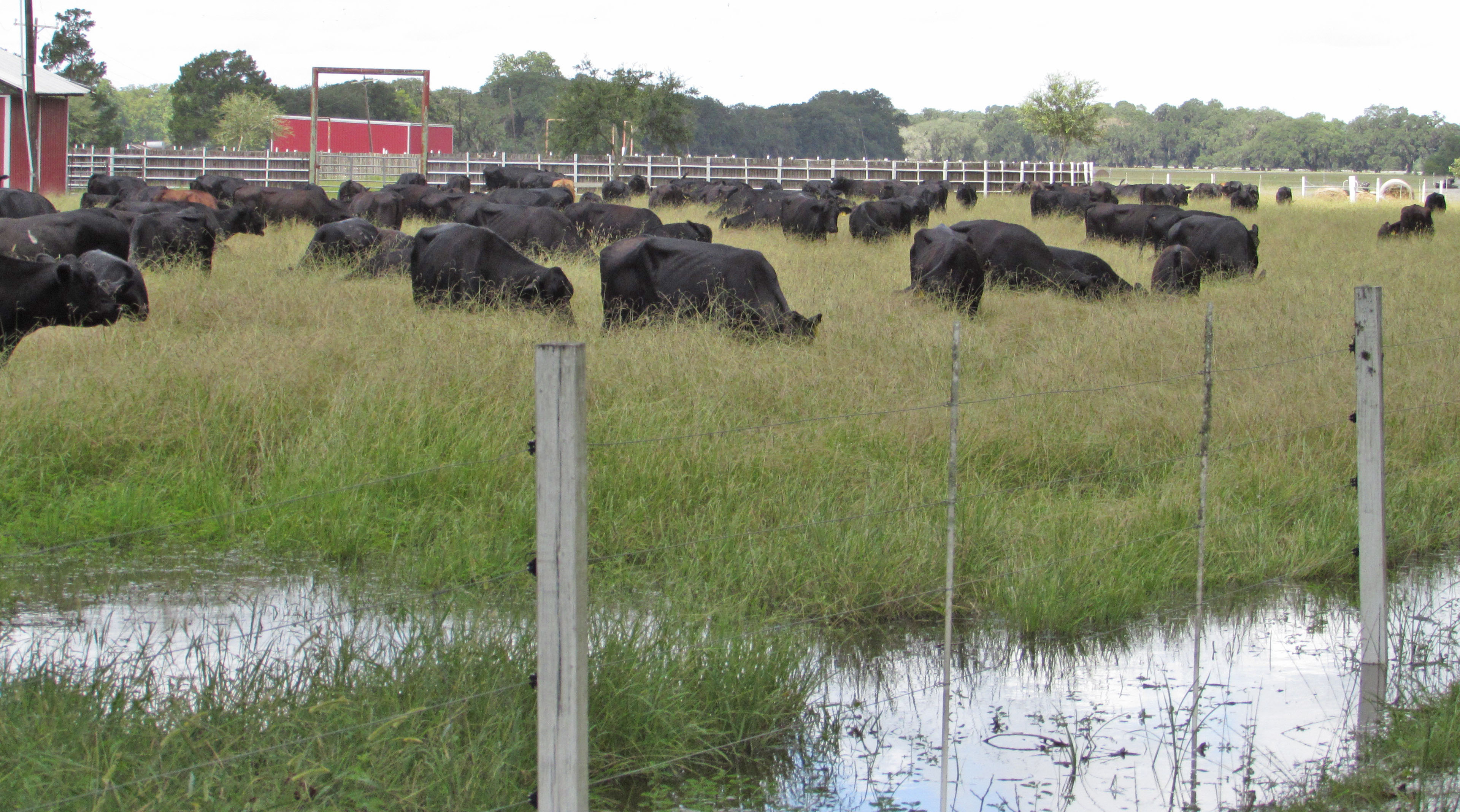 La. ranchers rescue cattle from floods