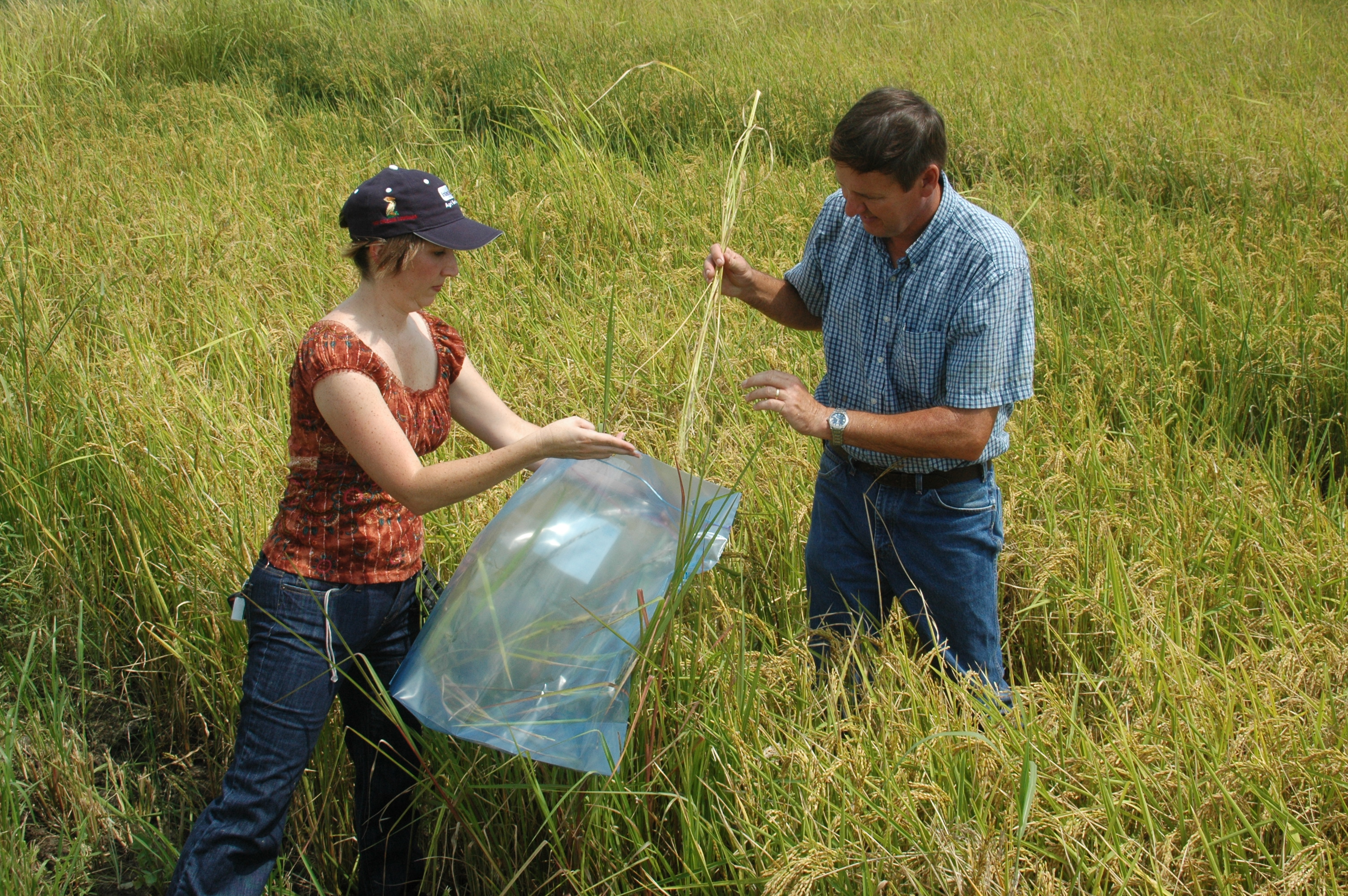 AgCenter plant breeders make Louisiana agriculture thrive