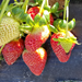 Do You Want to Grow Strawberries at Home?