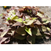 Ornamental Sweet Potato – Ornamental Plant of the Week for June 29, 2015