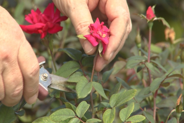 Time for pruning roses