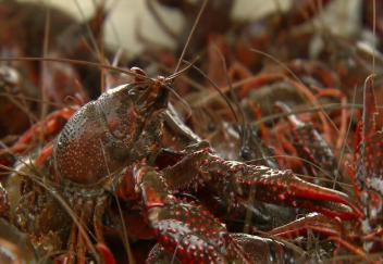 Cold weather slows crawfish growth hurts catch
