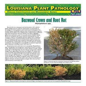 Boxwood Crown and Root Rot